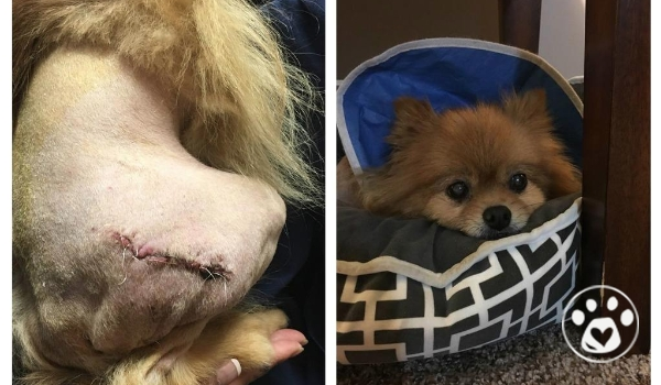Jethro was saved from a hoarding situation and needs FHO surgery