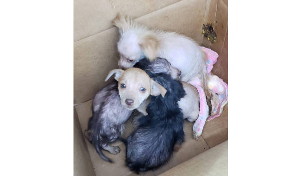 Box Puppies