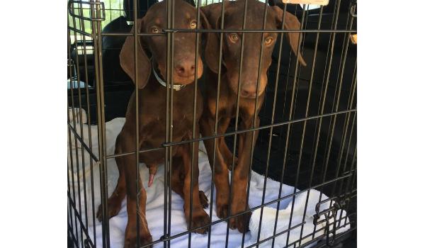 Dobie Puppies