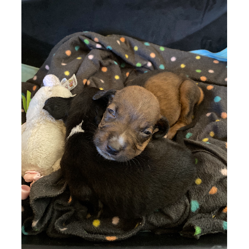 Orphaned Puppies, 4 Weeks old