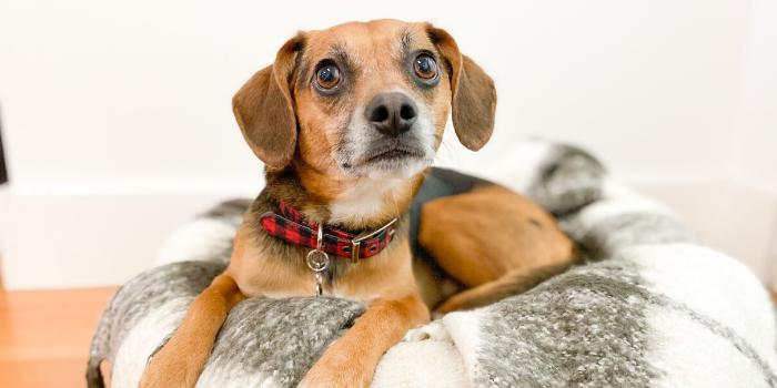 beagle mix