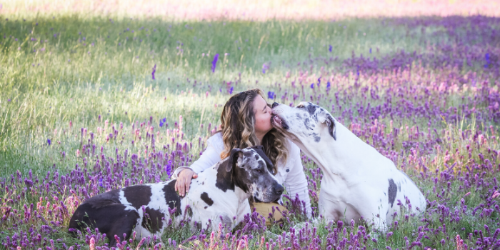 great danes in lavender